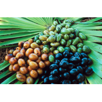 Saw Palmetto (Serenoa Repens)